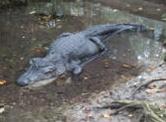 florida alligator hunts